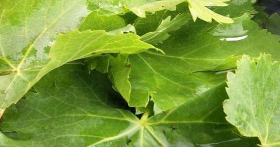 Долма рецепт с фото из виноградных листьев